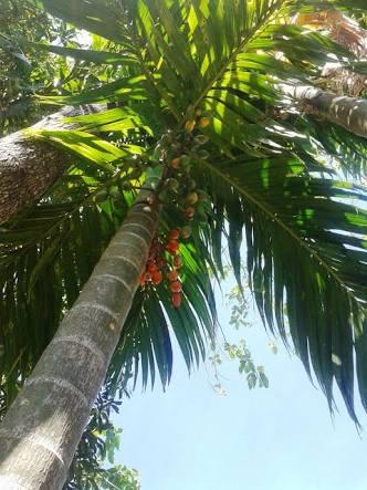 Foto ilustrasi untuk pohon pinang yang dipanjat oleh Kahingai di Pulau Inuhan itu